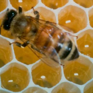 bee_with_honeycomb
